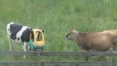 سر گاو در خمره گیر کرده 3