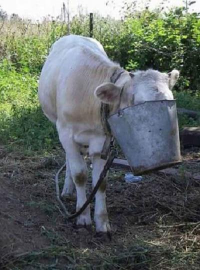 سر گاو در خمره گیر کرده 4