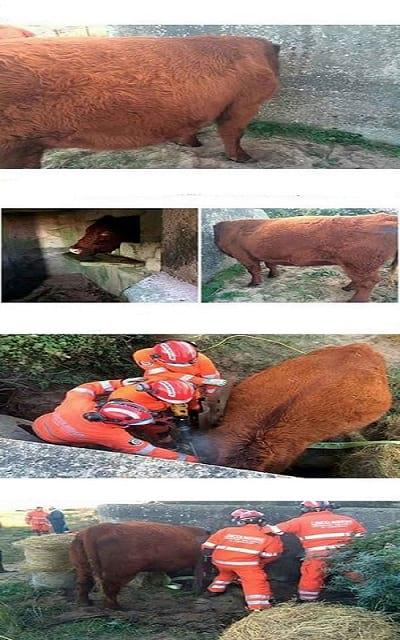 سر گاو در خمره گیر کرده