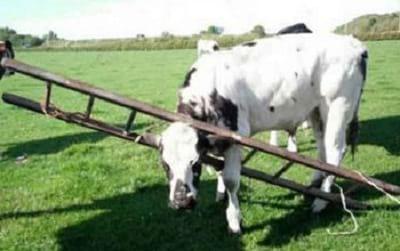 سر گاو در خمره گیر کرده2