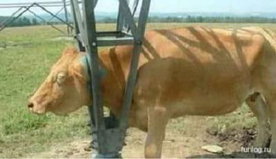 سر گاو در خمره گیر کرده5