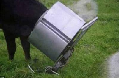 سر گاو در خمره گیر کرده7