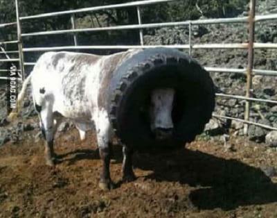 سر گاو در خمره گیر کرده8