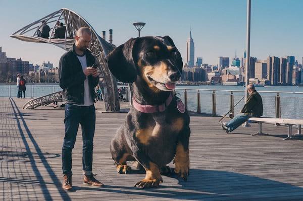 سگ غول پیکر (2)