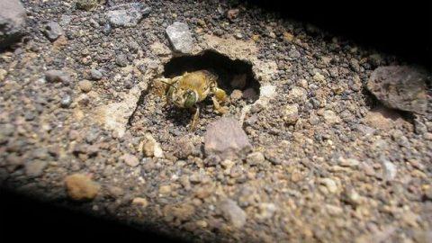 زندگی نوعی زنبور در میان مواد مذاب آتشفشانی