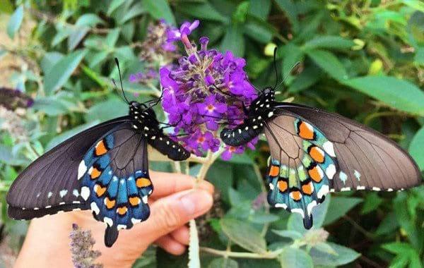 پرورش پروانه در خانه (3)