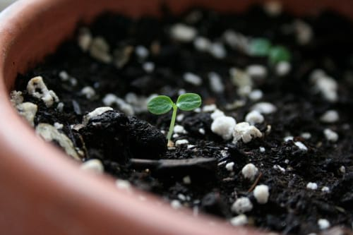 کاشت کیوی در گلدان (5)