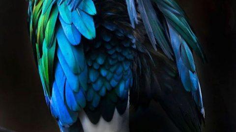 زیباترین پرنده دنیا؛ کبوتر نیکوبار