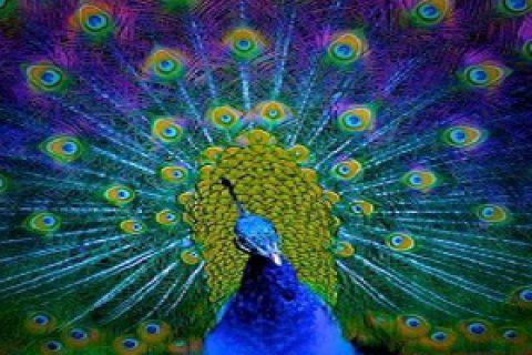 طاووس های رنگارنگ دیدهاید؟