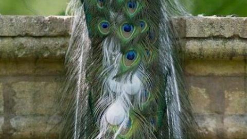 طاووس های رنگارنگ!