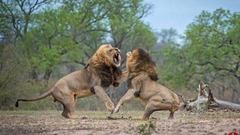 مبارزه دیدنی و نفس گیر دو شیر برای تعیین فرمانروا