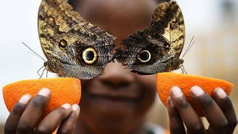 تصویری از پروانههای جغدی که از عکسهای برگزیده رویترز در سال ۲۰۱۶ شد