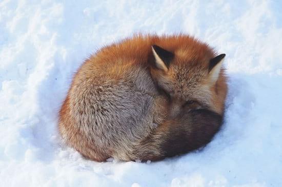 در این دهکده روباهها حکمرانی میکنند!