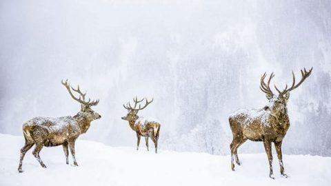 عکس روز نشنال جئوگرافیک؛ سه گوزن برفی