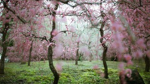 شکوفه های دیدنی درختان آلو