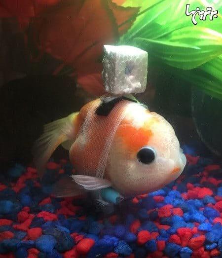 ویلچر ماهی (1)