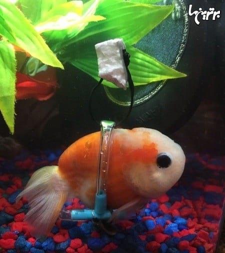 ویلچر ماهی (2)