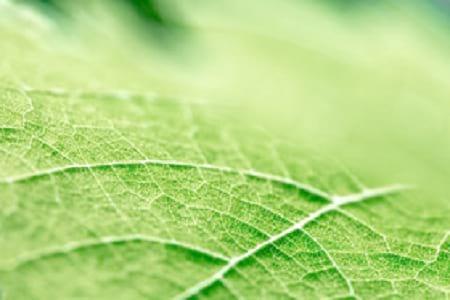 آوند برگ ها