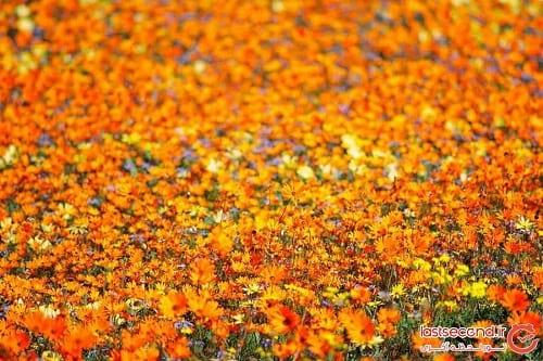 صحرای گل (10)