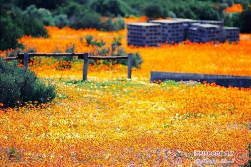 صحرای گل (11)