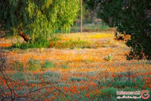 صحرای گل (8)