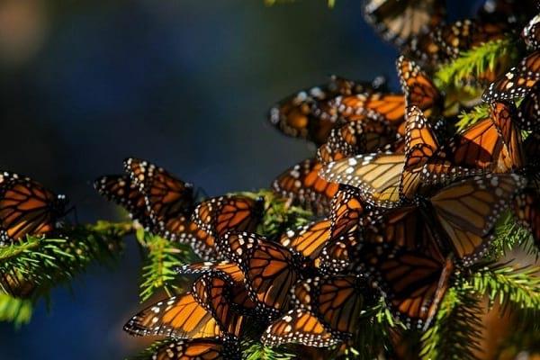 مهاجرت پروانه های شهریار، شگفتانگیزترین سفر دنیا!