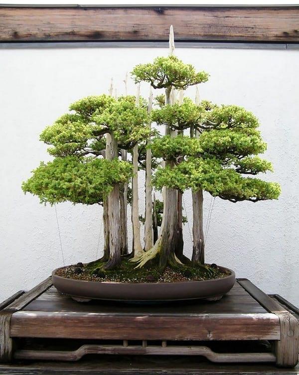 درختچه بنسای