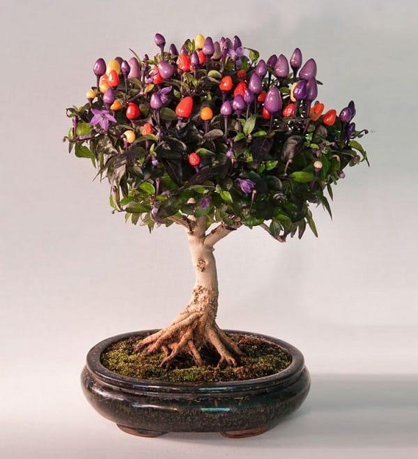 درختچه های بنسای (4)