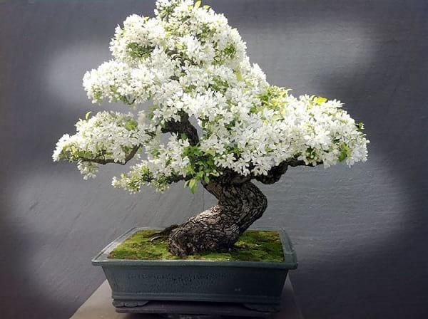 درختچه های بنسای (6)