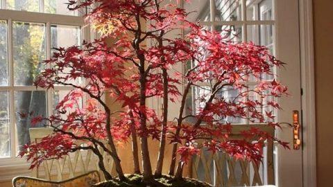 نگاهی به زیباترین درختچه های بونسای که هریک جلوه ای چشم نواز دارند!