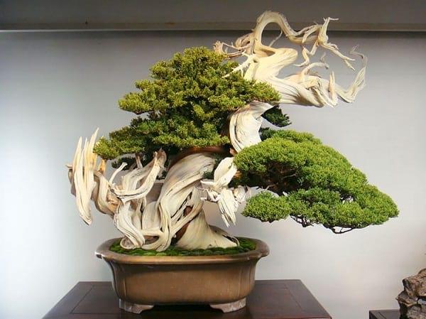 درختچه های بنسای (8)