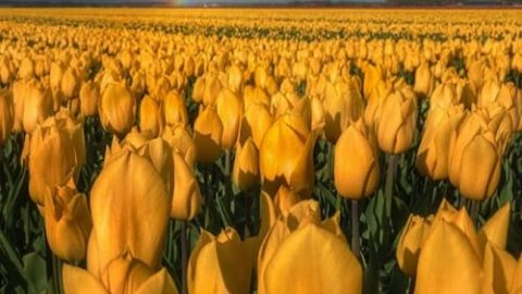 مزارع پرورش گل لاله در هلند