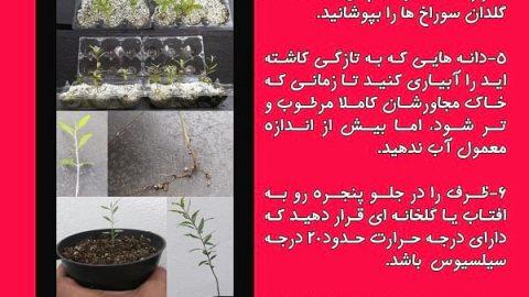 چگونه دانه های انار را در گلدان بکاریم
