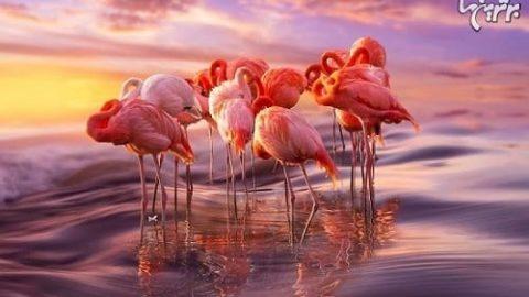تصاویر بسیار زیبای فلامینگو صورتی!