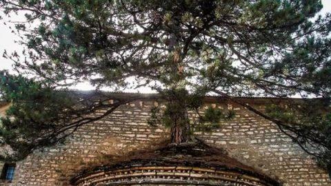 درختی ۱۰۰ساله در سقف کلیسا!