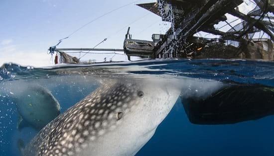 کوسه نهنگ (3)