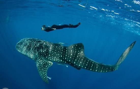کوسه نهنگ (4)