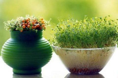 آموزش قدم به قدم کاشت سبزهی هفتسین (۱)