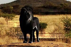 حیوانات سیاه