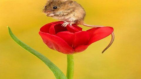 گُل ها و موش ها   تصاویر موش ها و گل های لاله
