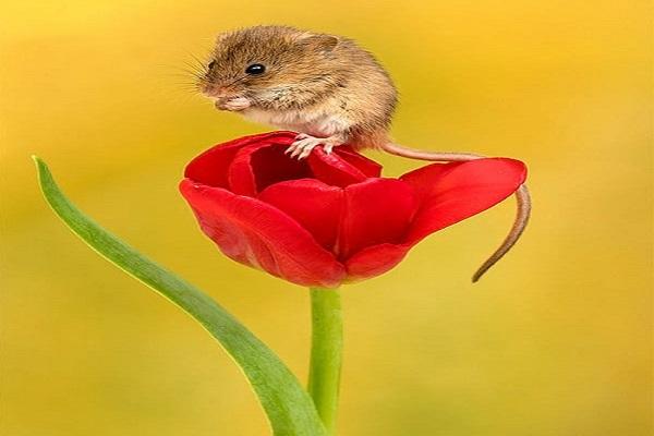 تصاویر موش درون گل