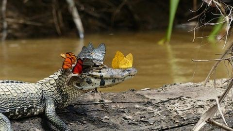 زندگی مسالمتآمیز تمساح و پروانهها