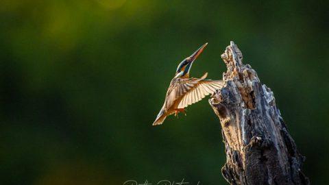 نکاتی برای عکاسی از پرندگان در حال پرواز (۱)