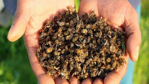 مرگ میلیون ها زنبور در سه ماه