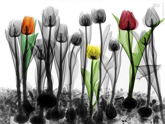 عکاسی با اشعه ایکس از گلها