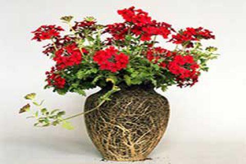 گل های بدون گلدان دیانا شرر
