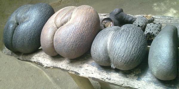 میوه کوکو که کشکول از آن ساخته می شود