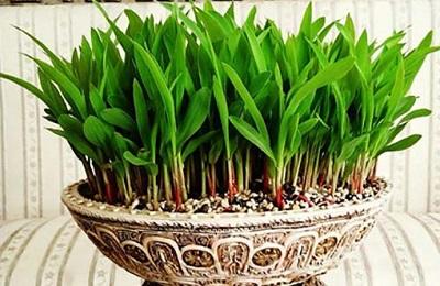 سبزه سبز کردن با ذرت